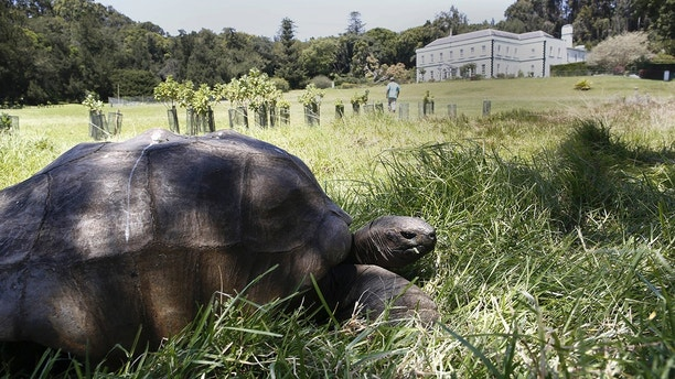 SAINT-HELENE ISLAND, UNITED KINGDOM - OCTOBER 10 :Bicentennial of the exile of Napoleon in Saint Helene,on october 10, 2015, in the capital Jamestown, Plantation House the governor's home;   the turtle Jonathan 185 years one of the oldest animal on earth; (Photo by Alfred de Montesquiou/Paris Match via Getty Images)