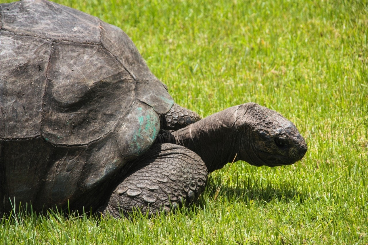 The fascinating sex life of Jonathan, the 185-year-old giant tortoise
