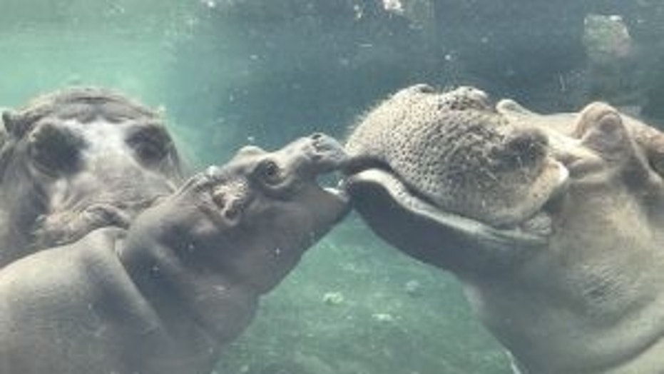 Henry, the father of the famous baby hippo Fiona died Tuesday, the Cincinnati Zoo announced.