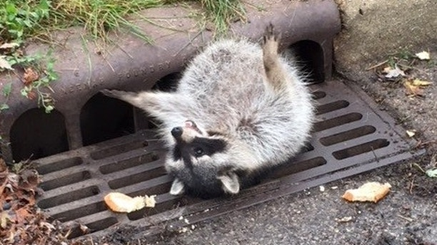 'Eating a little too well': Raccoon gets stuck in drainage grate