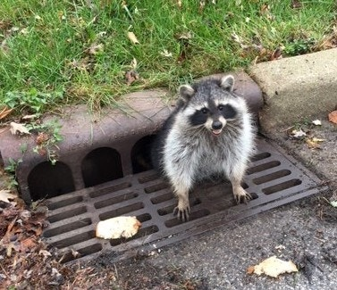 Cops help rescue obese raccoon from sewer grate