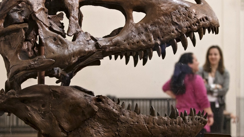 A cast of a Tyrannosaurus rex discovered in Montana greets visitors as they enter the Smithsonian Museum of Natural History in Washington, Tuesday, April 15, 2014. The original fossilized bones of this T. rex arrived at the museum Tuesday and will be reassembled for display.  (AP Photo/J. Scott Applewhite)