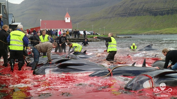 Grisly pics show mass whale slaughter in Faroe Islands hunts – Trending Stuff