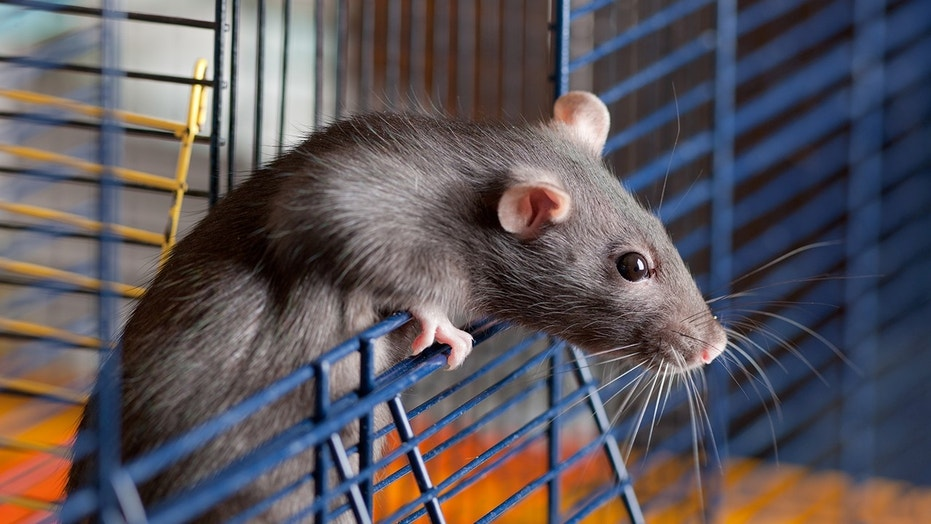 Scientists implanting human brain organoids into rats has sparked ethical debate.