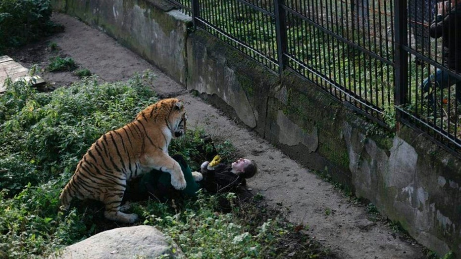 The Siberian tiger attacking the zookeeper at Kaliningrad zoo.  (Vkontakte/east2west news)