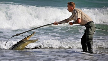 A Florida Fish and Wildlife Conservation Commission officer tries to capture a crocodile Monday, Nov. 20, 2017, along Hollywood Beach near Johnson Street. After several attempts the crocodile was caught unharmed. The crocodile was first spotted near the Dania Beach pier, drifted south and came ashore near Margaritaville drawing large crowds of onlookers. The American crocodile has federal protection as a threatened species and is likely to be relocated to its natural habitat. (Susan Stocker/South Florida Sun-Sentinel via AP)