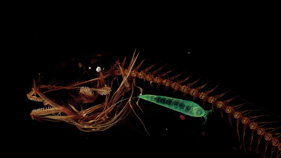 A CT scan of the new fish species that lives in the Mariana Trench also reveals the fish's last meal, in green.