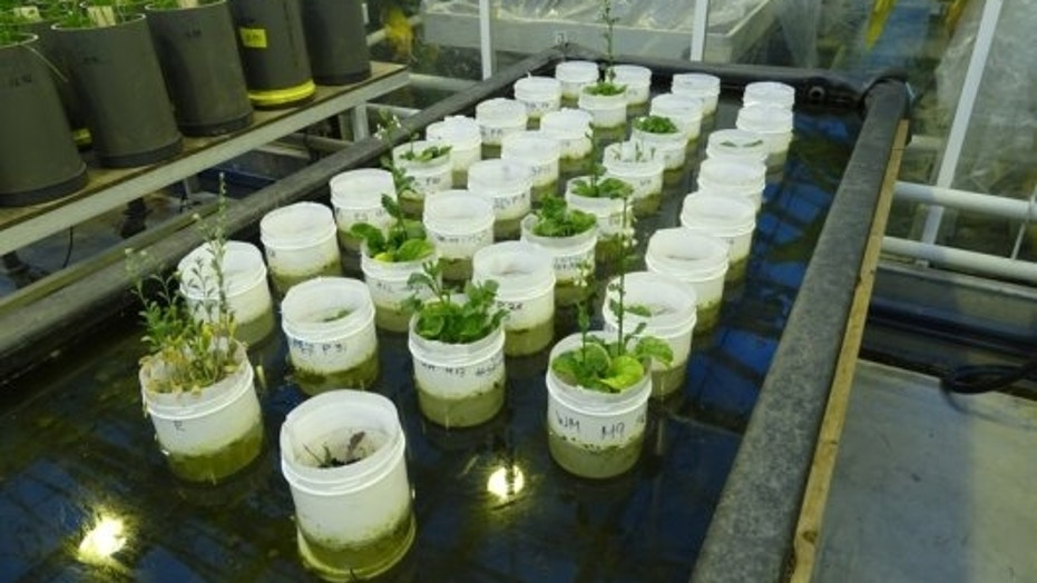 An experiment that resulted in various flowering plants, especially in a Mars soil simulant. The pots were put in water to keep the soil containing the earthworms cool.
