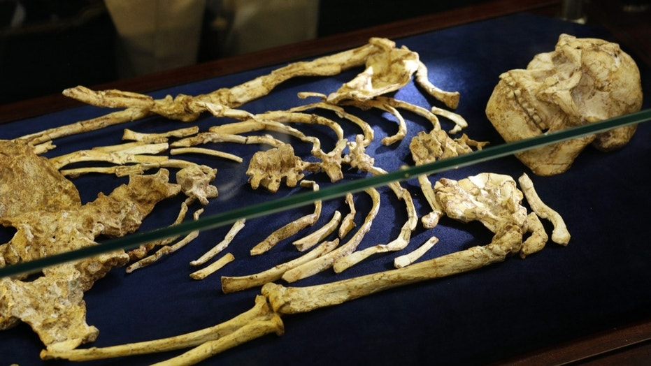 """A virtually complete Australopithecus fossil is displayed at the University of the Witwatersrand in Johannesburg, South Africa, Wednesday, Dec. 6, 2017. Researchers in South Africa have unveiled what they call """"by far the most complete skeleton of a human ancestor older than 1.5 million years ever found."""" (AP Photo/Themba Hadebe)"""