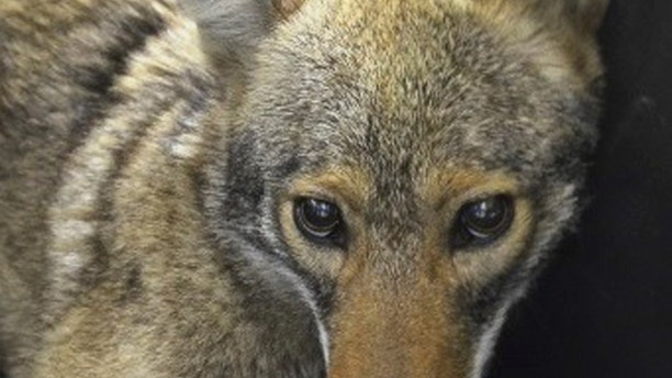A coyote is shown after being captured by the New York City Police Department in New York April 25, 2015. The influx of coyotes into urban areas such as New York, Chicago and Los Angeles is a sign of their ability to adapt to environments where they are drawn to abundance of food including mice, squirrels, rabbits and, sometimes, pet cats, said Roland Kays, a zoologist at North Carolina State University who studies wildlife in urban areas. REUTERS/NYPD/Handout FOR EDITORIAL USE ONLY. NOT FOR SALE FOR MARKETING OR ADVERTISING CAMPAIGNS. THIS IMAGE HAS BEEN SUPPLIED BY A THIRD PARTY. IT IS DISTRIBUTED, EXACTLY AS RECEIVED BY REUTERS, AS A SERVICE TO CLIENTS - TM3EB4P12QE01