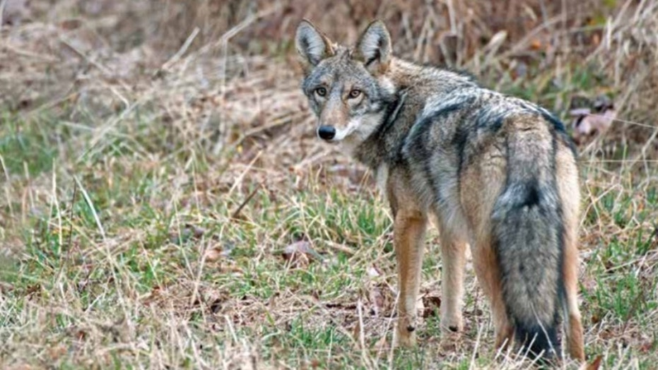 A Coywolf in upstate New York.