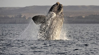 A southern right whale, known in Spanish as ballena franca austral, jumps off the water in the Atlantic Sea, offshore Golfo Nuevo, near Argentina's Patagonian village of Puerto Piramides, June 17, 2011. The whales regularly come to breed and calve in this marine reserve from June to December. REUTERS/Maxi Jonas (ARGENTINA - Tags: ANIMALS ENVIRONMENT) - GM1E76I06SY01