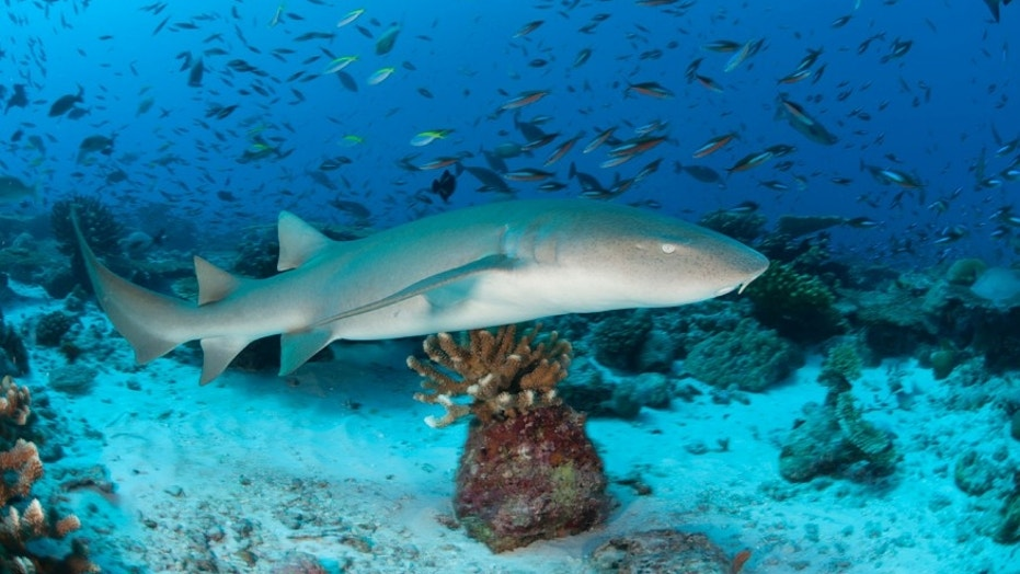 A large nurse shark swims over coral reef and is surrounded by hundreds of fish.