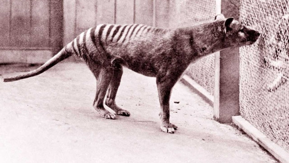 Can science bring the Tasmanian tiger back from extinction?