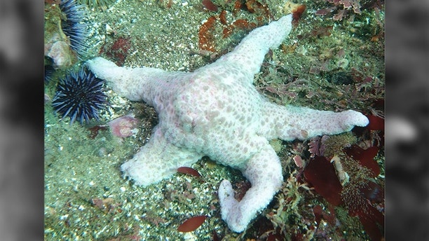A starfish, also known as a sea star suffering from a wasting disease epidemic is shown in this handout photo courtesy of Kevin Lafferty of the United States Geological Survey, provided November 17, 2014. Scientists investigating a huge die-off of starfish along North America's Pacific coast have identified a virus they say is responsible for a calamitous wasting disease that has wiped out millions of the creaturessince first appearing last year.  REUTERS/Kevin Lafferty/USGA.com/Handout via Reuters  (UNITED STATES - Tags: ENVIRONMENT)ATTENTION EDITORS - FOR EDITORIAL USE ONLY. NOT FOR SALE FOR MARKETING OR ADVERTISING CAMPAIGNS. THIS PICTURE WAS PROVIDED BY A THIRD PARTY. REUTERS IS UNABLE TO INDEPENDENTLY VERIFY THE AUTHENTICITY, CONTENT, LOCATION OR DATE OF THIS IMAGE. THIS PICTURE IS DISTRIBUTED EXACTLY AS RECEIVED BY REUTERS, AS A SERVICE TO CLIENTS - TM3EABH1CM301
