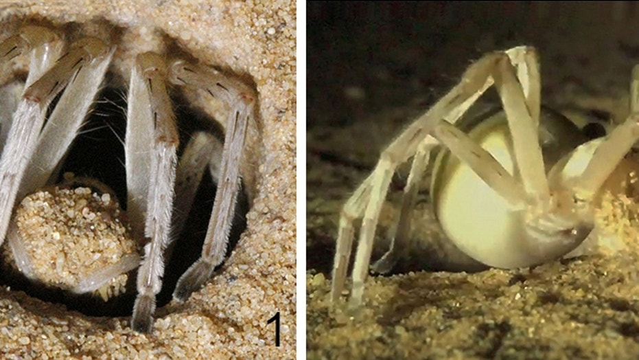 A <i>Cebrennus rechenbergi</i> emerges from its burrow. It carries a load of dry sand (left) and disperses the sand load close to the burrow entrance (right), where the seemingly compact ball of sand disintegrates into single grains.