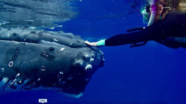 Pic by Nan Hauser / Caters - (Pictured: Humpback whale pushes Nan Hauser around in the water, protecting her from shark.) - This is the heart-stopping moment when a giant, 50,000-pound humpback whale took it upon itself to push an unsuspecting snorkeler through the water, looking to protect her from a nearby SHARK. The stunning video and images Nan Hauser and her team were able to capture - including point-of-view footage - show how the whale pushed whale biologist Nan with his head and his mouth, tucked her under its pectoral fin - even lifted the biologist out of the water on one occasion. The moment, Nan, 63, said, is perhaps proof of whales intuitive nature to protect other species of animal -  including humans - something she believes has never been captured on film, and intuition the biologist compared to firemen being willing to rush into a house on fire to help save the lives of those they do not know. - SEE CATERS COPY