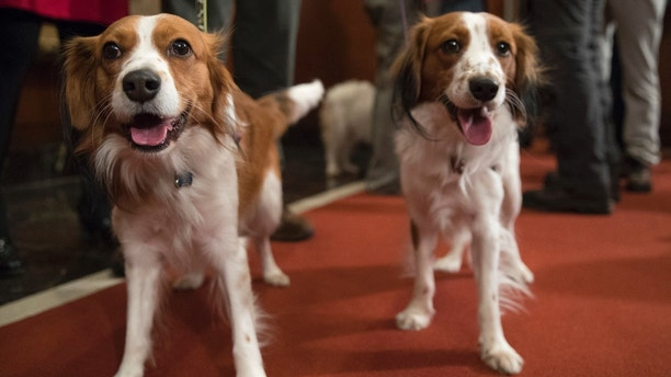 Nederlandse kooikerhondje Escher, right, and Rhett are shown during a news conference at the American Kennel Club headquarters, Wednesday, Jan. 10, 2018, in New York. The club announced that it's recognizing the Nederlandse kooikerhondje and the grand basset griffon Vendeen. They're the first breeds added to the roster since 2016.  (AP Photo/Mary Altaffer)