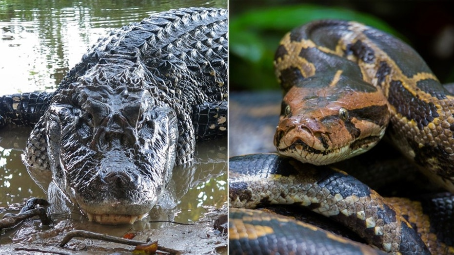 An alligator and a Burmese python engaged in a cold-blooded battle to the death last week in Florida.