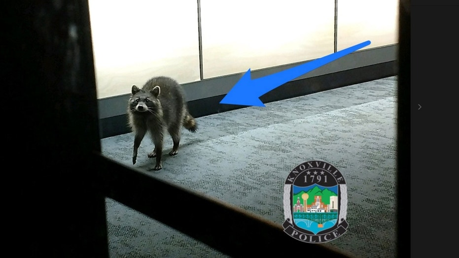 A raccoon set off a burglar alarm in a cell phone store in Knoxville on Monday.