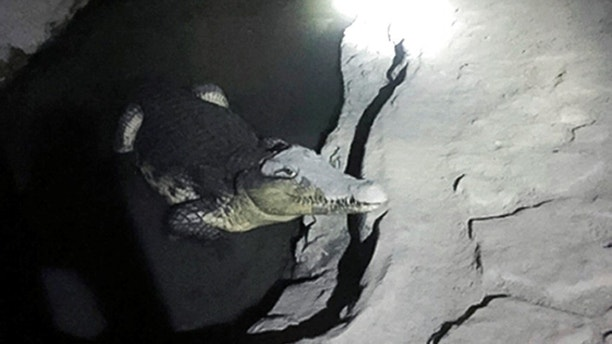 In this undated handout photo released by the Russian Interior Ministry official website on Friday, Jan. 19, 2018, a crocodile rests in a small pool of water dug in a concrete basement in St. Petersburg, Russia. Police were surprised to find the crocodile while detectives were looking for undeclared weapons in the house of a man involved in re-enacting historic military battles, according to local media. (Russian Interior Ministry Press Service via AP)