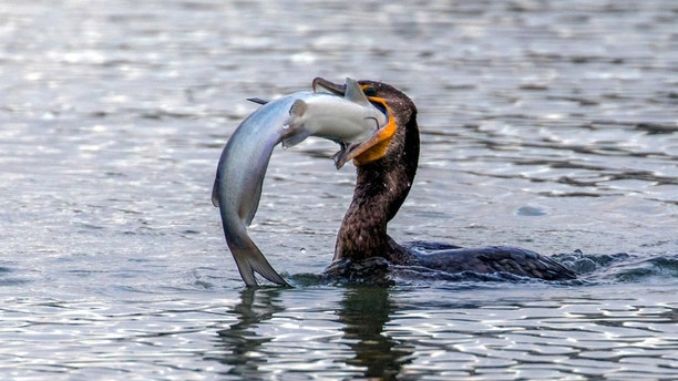 The cormorant struggles to swallow thw catfish on the island of Galveston, Texas, USA. See Masons copy MNSWALLOW: These remarkable images show an astonishing moment of a Cormorant finding it extremely difficult to swallow a large catfish. The 'excellent' photographs captured by an amateur photographer were taken on the island of Galveston, Texas. Shahin Abasov, 59, has managed to catch the moment a Cormorant attempting to swallow the Catfish for 30 minutes until it eventually gave up and let him go.