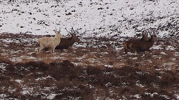 Extremely Rare Ghostly White Stag Spotted In Scotland Fox News