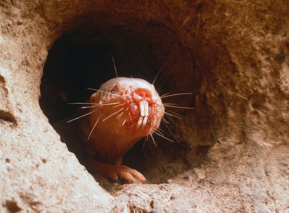 Weird: Naked mole rats don't die of old age