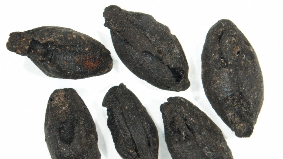 A handful of sprouted cereal grains discovered at a Bronze Age site in Argissa, Greece. The scale bar is 0.04 inches (1 millimeter).