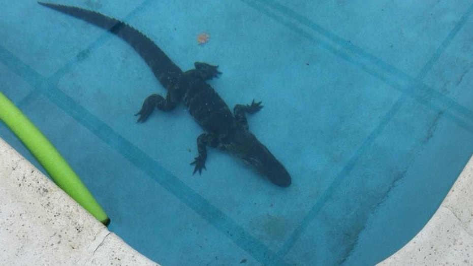 A homeowner in Florida discovered an 8-foot alligator in his pool while walking his dog early Monday.