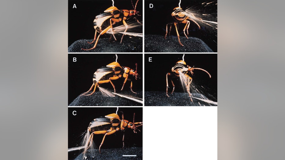 "File photo: In 1999, scientists released these photographs of a Bombardier beetle spraying a boiling hot, toxic fluid from the tip of its abdomen. The bombardier beetle of Africa, has evolved the useful defense ""as a means for 'buying time' when under attack,"" according to researchers. (Credit: Reuters)"