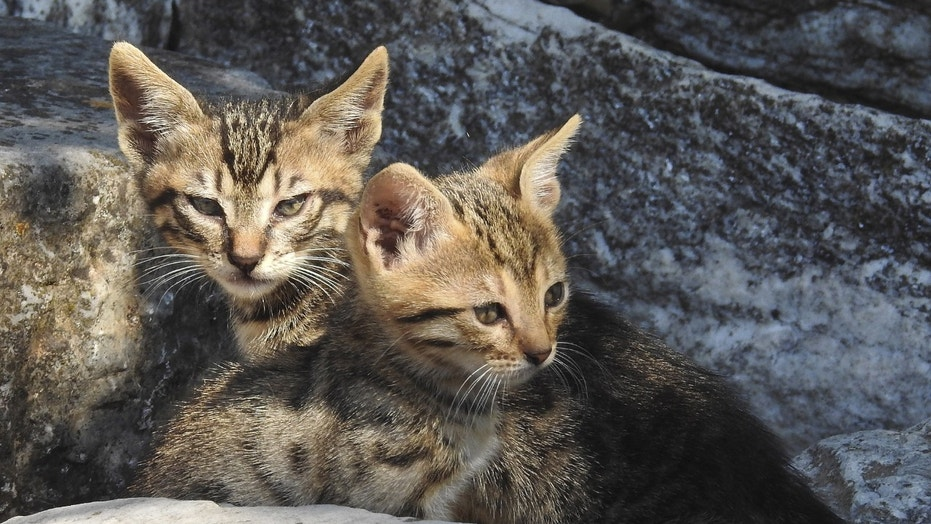 File photo: Two kittens lie in the ruins of the ancient Agora in Athens June 20, 2015. (REUTERS/Paul Hanna)