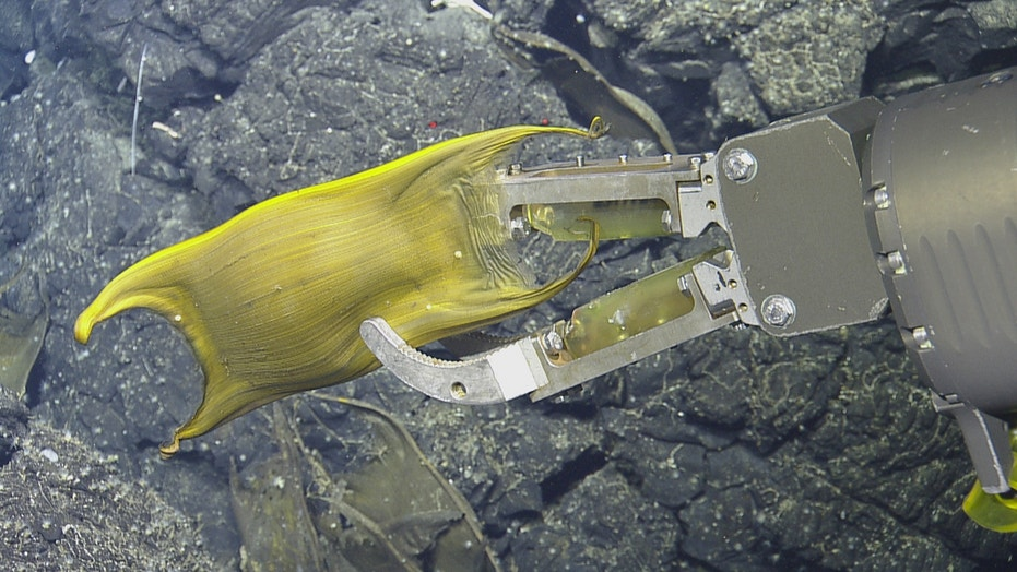 Deep-sea volcanic vents incubate eggs for these underwater moms