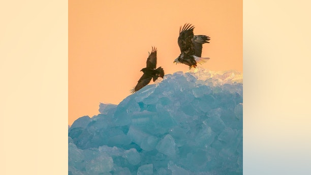 bald eagle blue ice