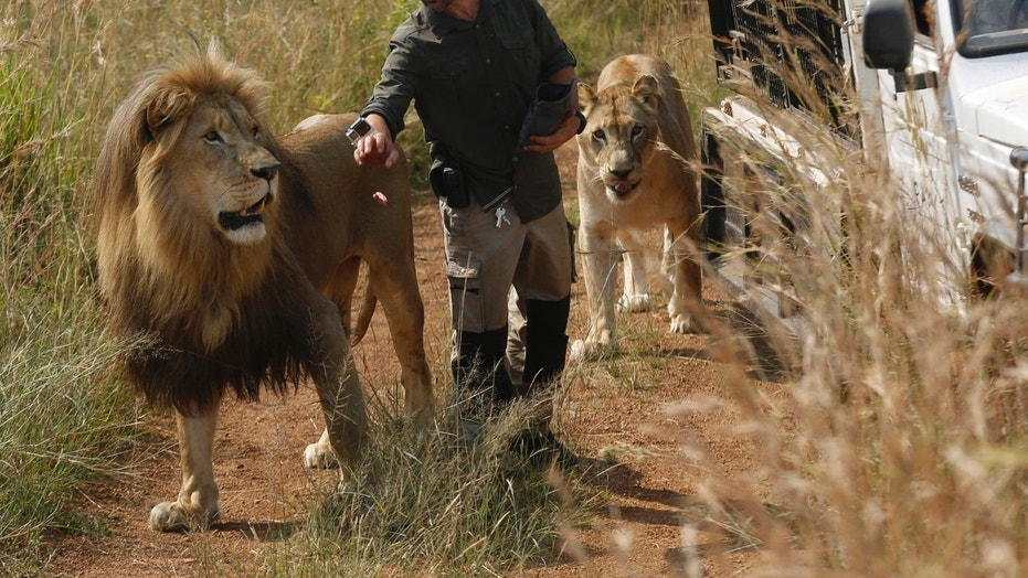 "FILE - In this Wednesday March 15, 2017 file photo, Kevin Richardson, known as the ""lion whisperer"", takes two of his lions for a walk in the Dinokeng Game Reserve, near Pretoria, South Africa. A lion, who mauled a young woman to death, was under the care of Richardson, known for his close interactions with the predators in his animal sanctuary. (AP Photo/Denis Farrell, File)"
