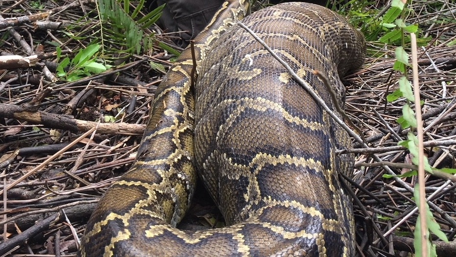 Newly-released photos show a Burmese python swallowing a young deer in April 2015.