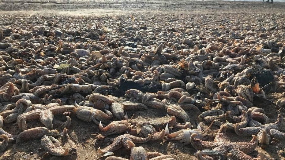 Tens of thousands of starfish wash up dead on United Kingdom beach