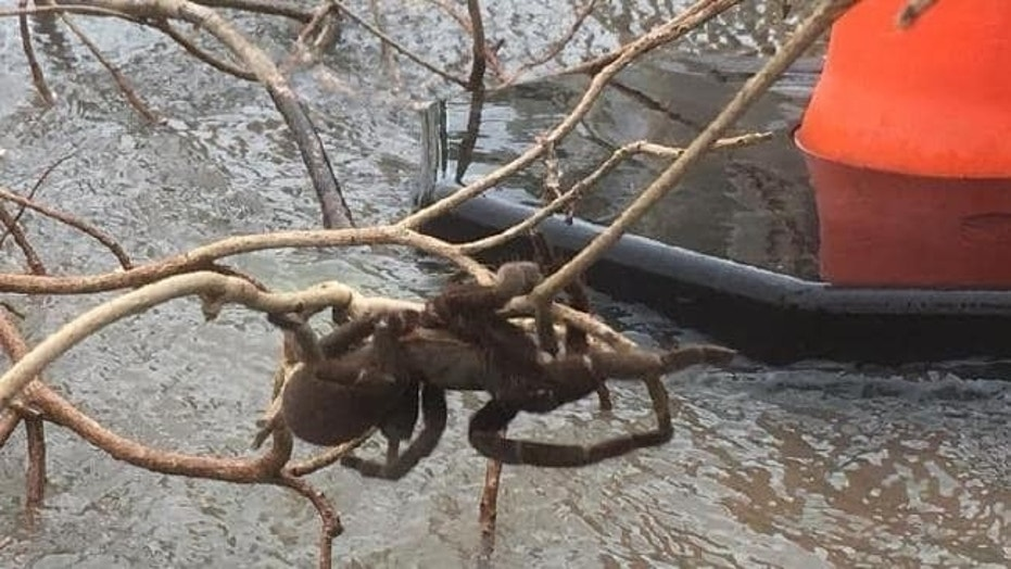 The enormous spider found precariously perched above a flooded river in Halifax, Queensland.