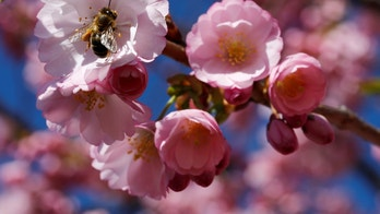 A bee searches for pollen among cherry blossoms on a sunny spring day in Lausanne, Switzerland March 20, 2017. REUTERS/Denis Balibouse - RC1403760110