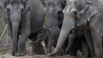Newborn Asian elephant Tun Kai is pictured with members of its family on the first day of a public appearance at the Planckendael Zoo in Mechelen, Belgium March 9, 2018. REUTERS/Yves Herman - RC19140269D0