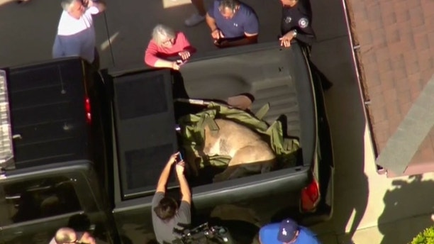 Mountain Lion Tranquilized In Backyard Of California House