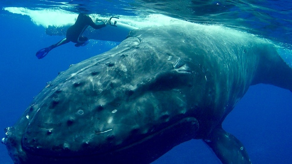 File photo: Humpback whale pushes Nan Hauser around in the water, protecting her from shark.) (Nan Hauser / Caters)