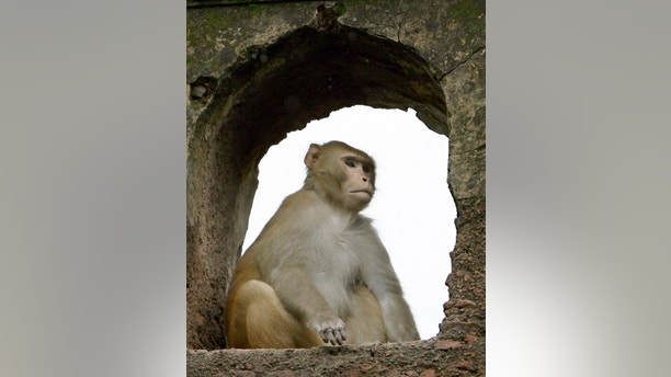 A monkey takes cover from the rain inside the Nehru park in the old quarters of Delhi July 27, 2006.  REUTERS/Desmond Boylan (INDIA) - GM1DTDIJCWAA