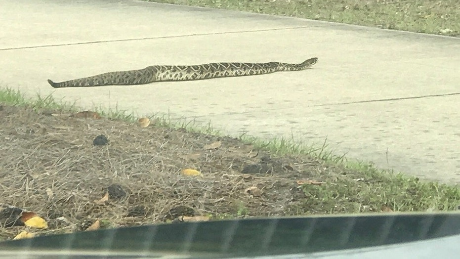 Derek Tyson and his family first spotted the rattler on Sunday, he told Fox News.
