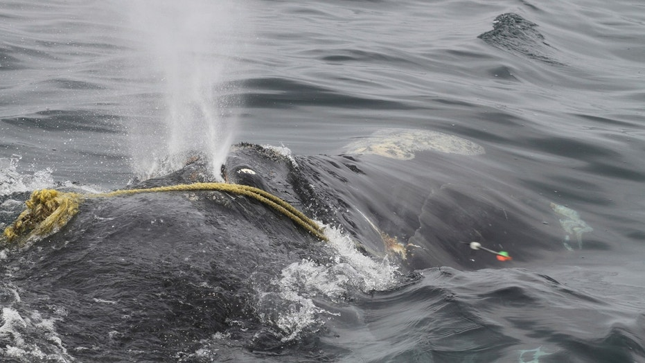 "In this April 12 photo taken by Lisa Sette on Stellwagen Bank off of Massachusetts, a right whale known as ""Kleenex"" is entangled in fishing gear."