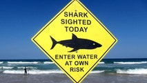 A surfer carries his board into the water next to a sign declaring a shark sighting on Sydney's Manly Beach, Australia, November 24, 2015. To match Feature USA-SHARKS/  REUTERS/David Gray/File Photo - S1AETGQBNHAA