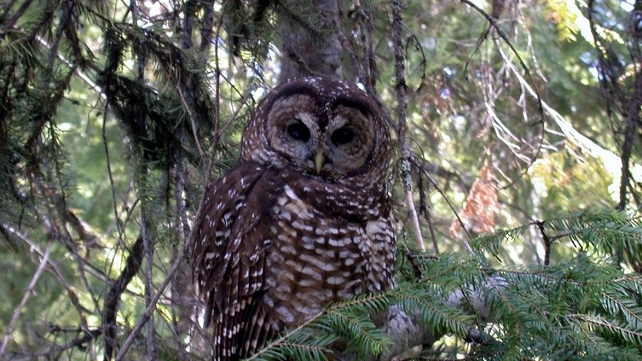 A North Spotted Owl is seen perched in a tree.