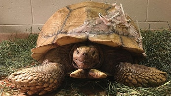 This Wednesday, April 18, 2018 photo shows a wayward tortoise as it recovers after it cracked its shell when it fell off of a 10-foot wall in San Diego County. The tortoise is recovering after vets used screws, zip ties and denture material to repair it. County Animal Services Director Dan DeSousa says the male 90-pound African spurred tortoise probably was a pet that got loose from a yard. (Daniel DeSousa/San Diego County Department of Animal Services via AP)