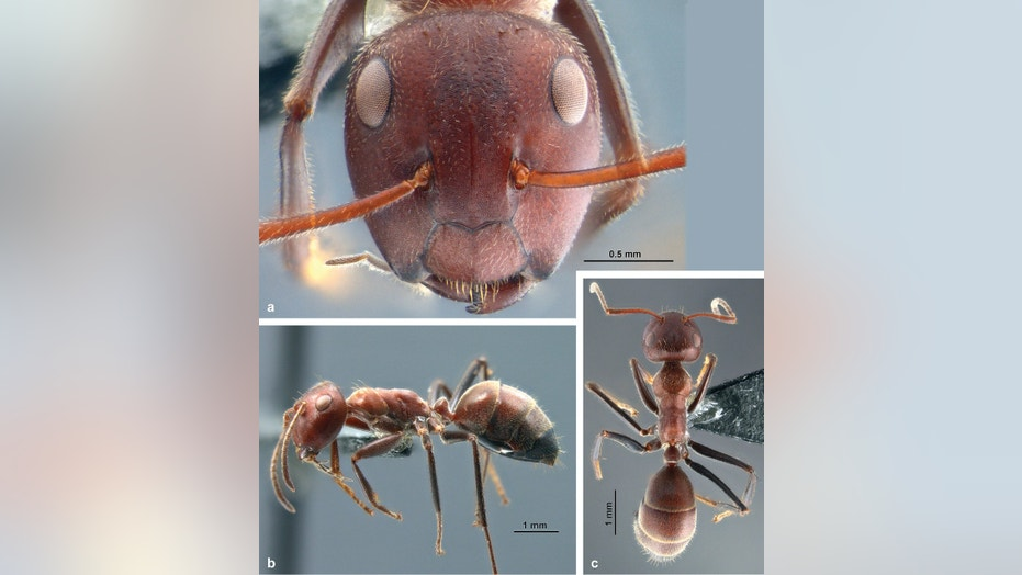 """An ant from a new species group called """"Colobopsis explodens"""" capable of """"exploding themselves"""" when under attack."""