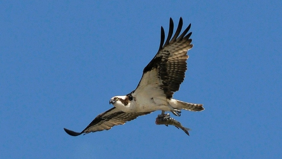 Wildlife photographer captures osprey carrying shark carrying fish file photo an adult osprey flies with a fish in its talons in cochrane altavistaventures Images